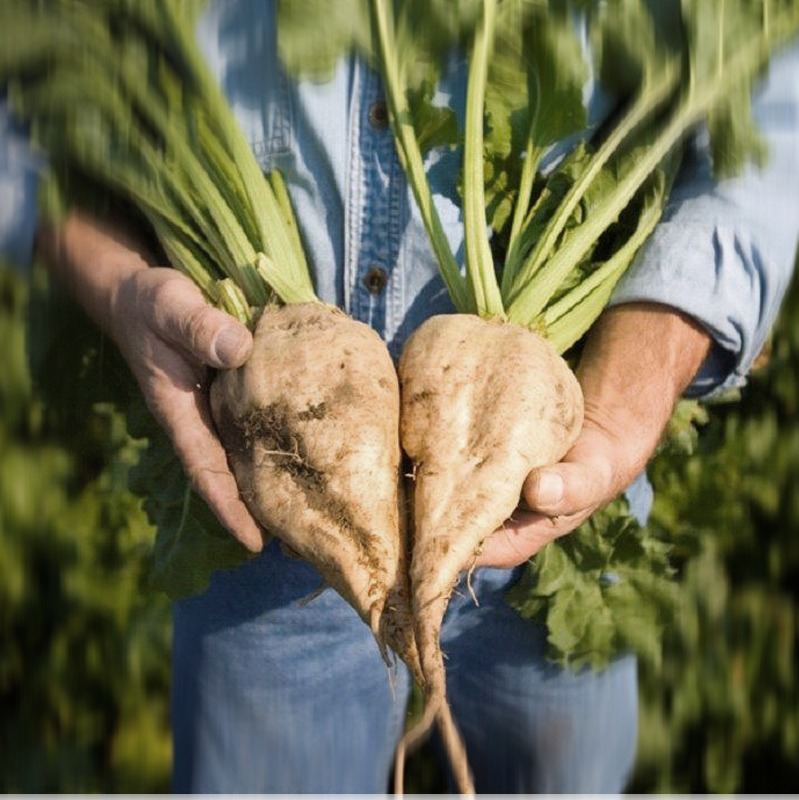 close up of man holding two sugar beets