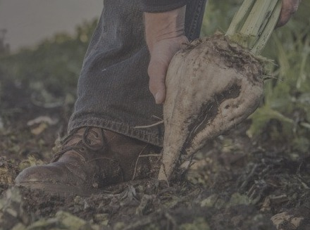 close up of farmer pulling sugar beet out of the ground