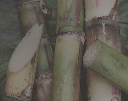 close up of cut sugar cane